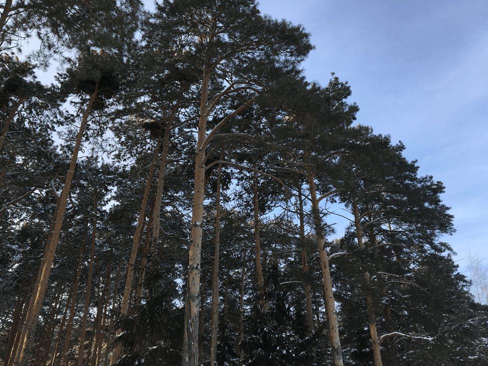 Ветошкинский сосновый парк